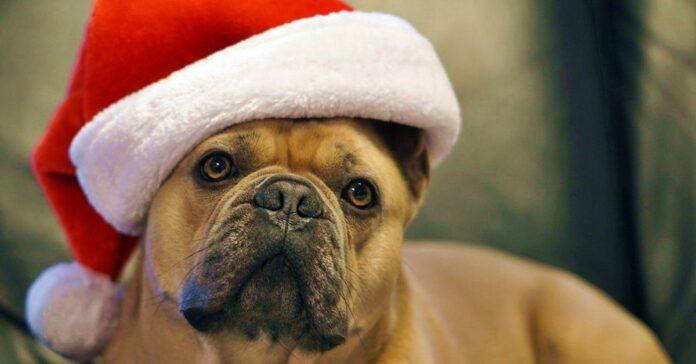 bulldog con il cappello da babbo natale