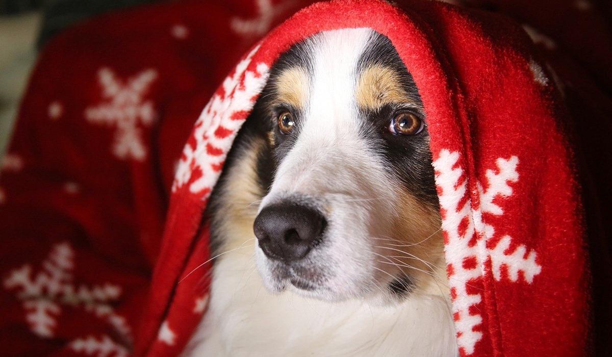 cane sotto la coperta natalizia
