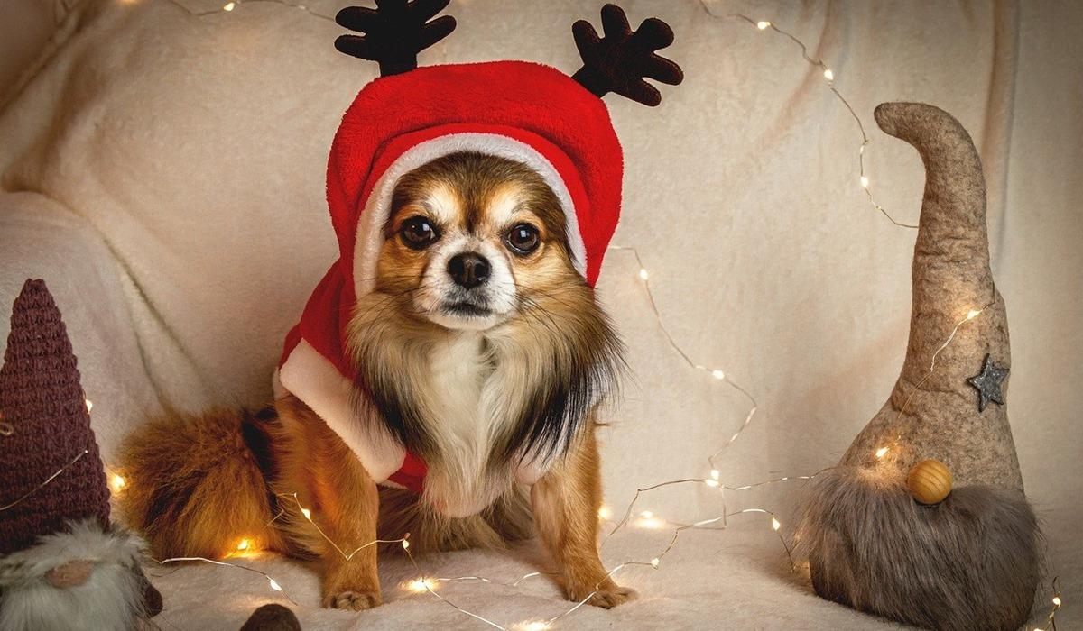 chihuahua in posa per la foto natalizia
