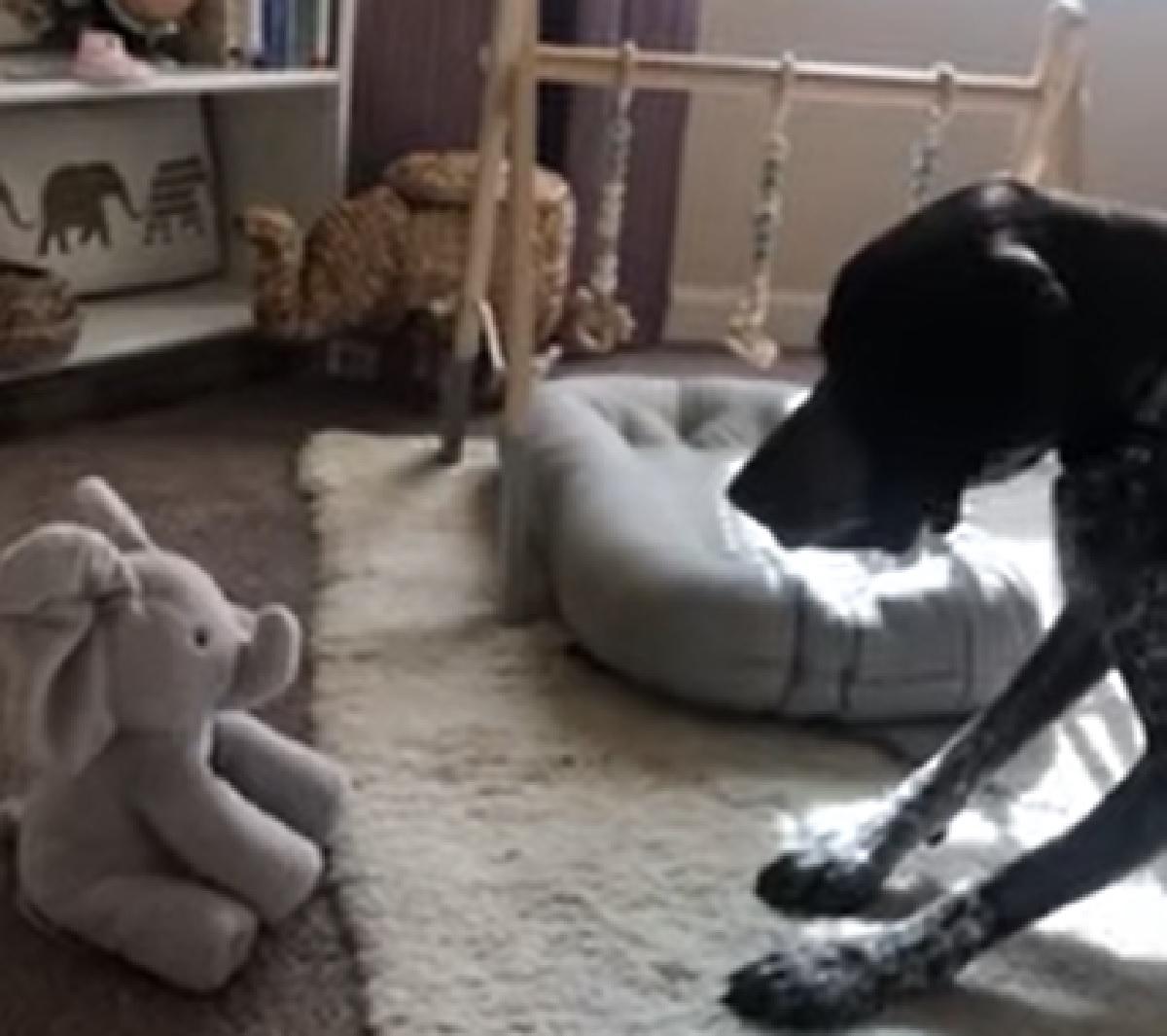 Il cucciolo Bracco danese e il suo incontro con un elefante giocattolo, la sua reazione sconsiderata in video