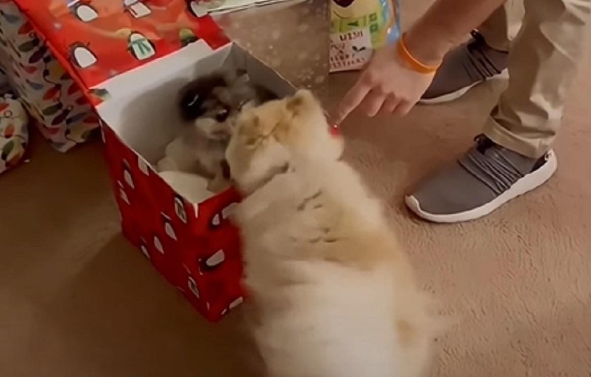 Il cucciolo di Pomerania riceve una meravigliosa sorpresa per Natale, il video è tutto da vedere