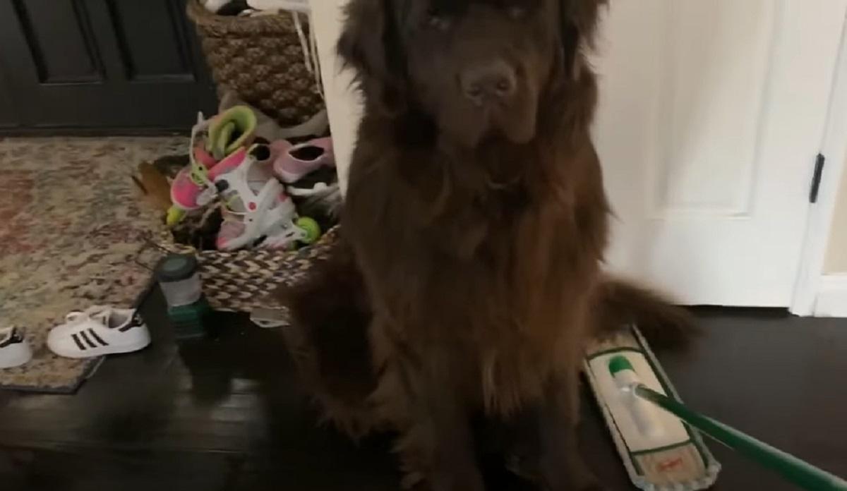 Il cucciolo di Terranova impedisce alla mamma di pulire, ecco il suo infallibile piano nel video