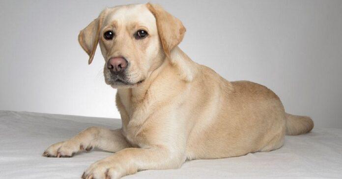 cucciolo golden retriever non sale sul tappeto ecco in video superare problema