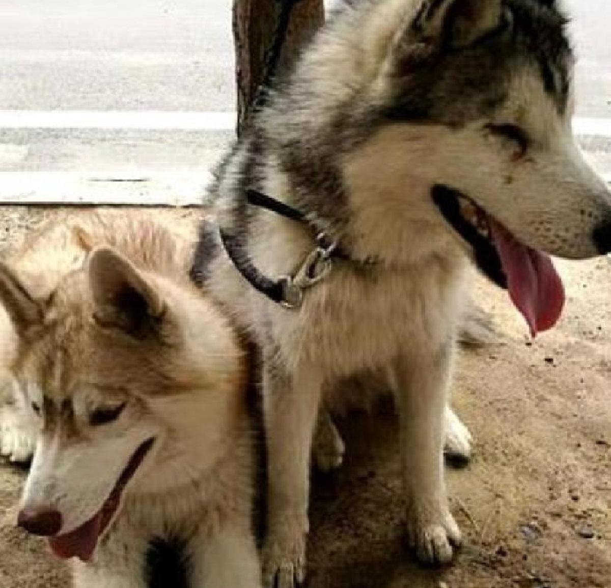 Il cucciolo Husky è cieco e non riesce a scendere un gradino, nel video il fondamentale aiuto del fratellone