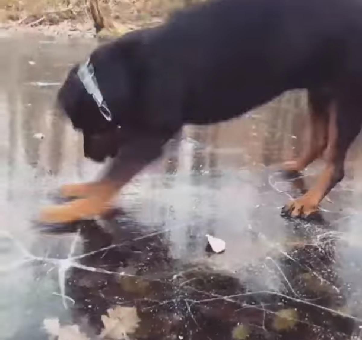 cucciolo rottweiler lago ghiaccio salti