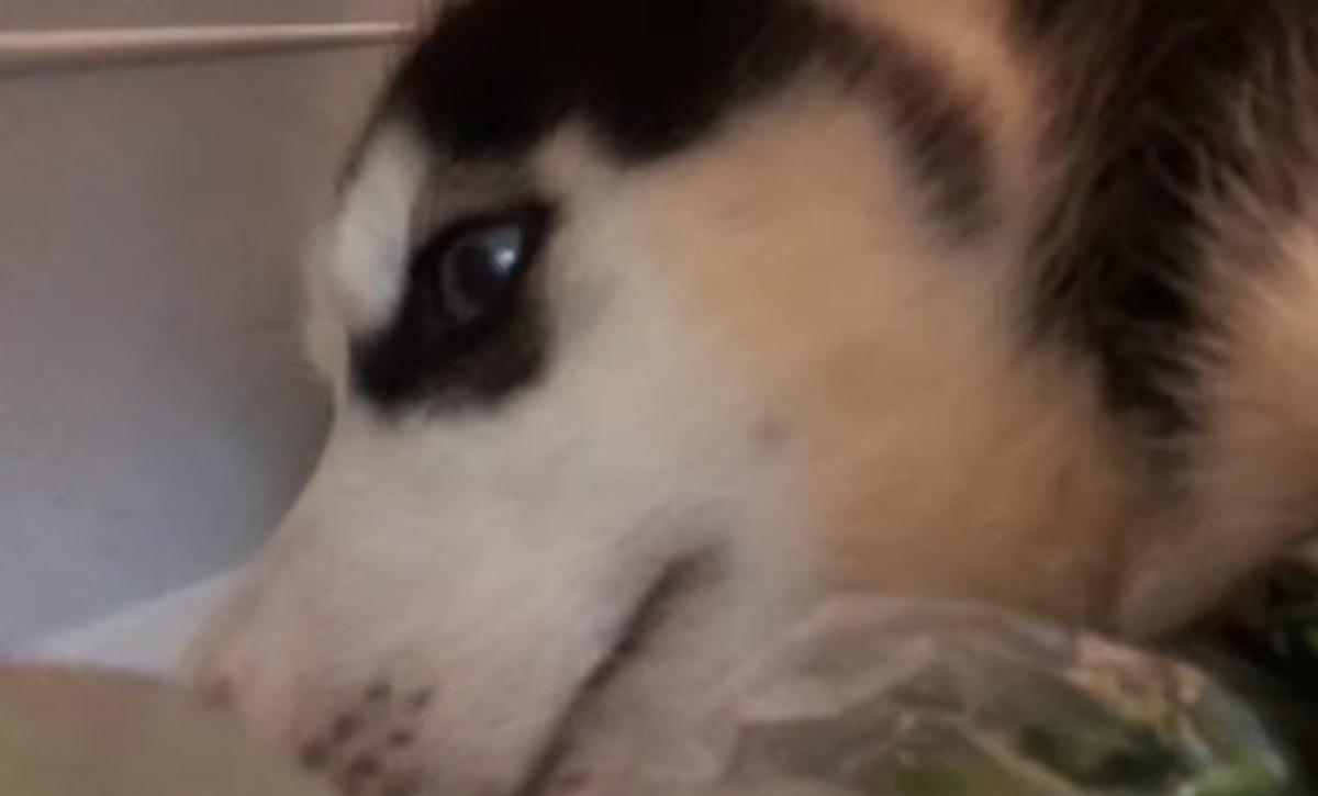 Il cucciolo Siberian Husky cerca freschezza nel frigorifero, il video del suo gesto è tenerissimo