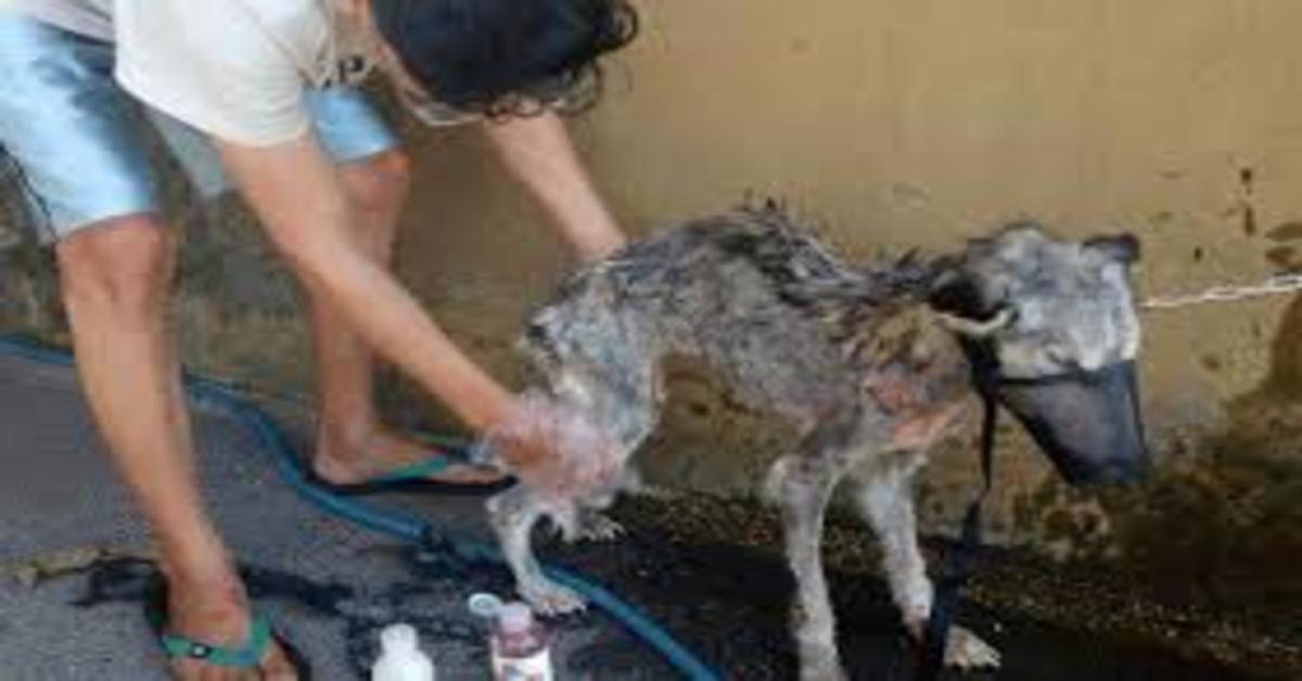 Hope, il cucciolo di Husky quasi moribondo che è tornato a vivere grazie al giovane che lo ha adottato (VIDEO)