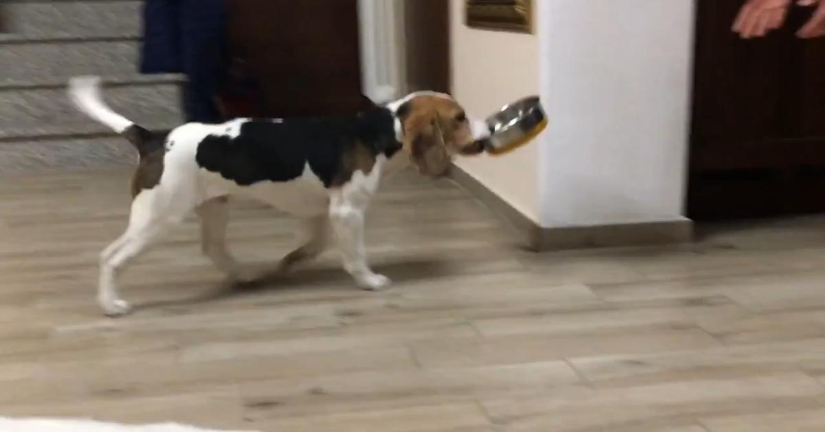 Kim cucciolo di Beagle ascolta il padrone ed esegue il comando (VIDEO)