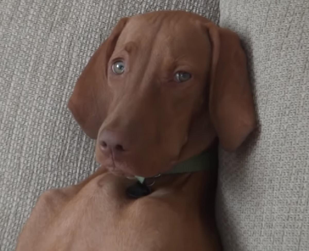La cucciola Bracco Ungherese riposa sul divano, la sua posizione è simpaticissima, ecco il video