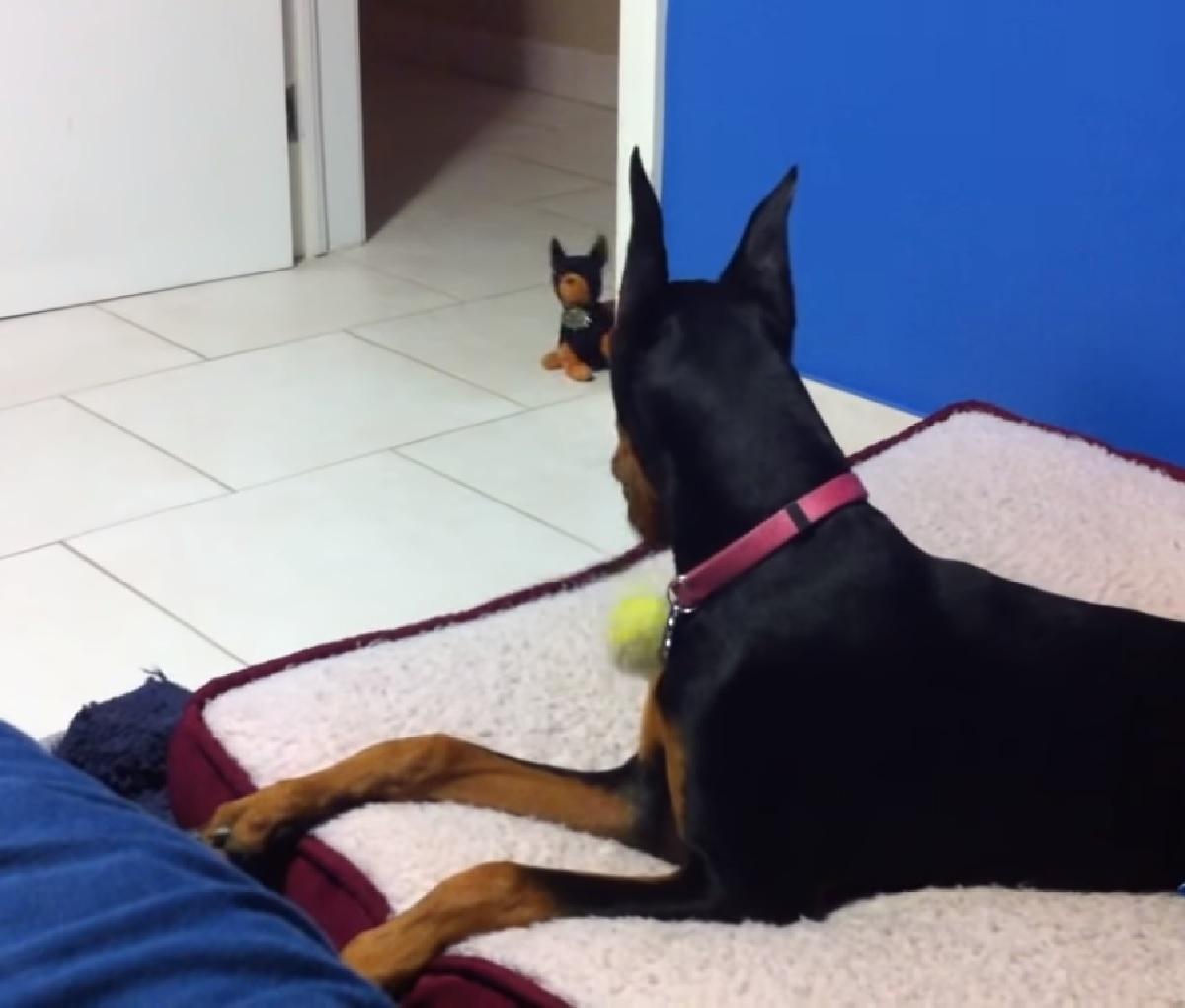 La cucciola Doberman abbaia ad un pupazzo, finisce per scoprire la verità e i genitori catturano in video
