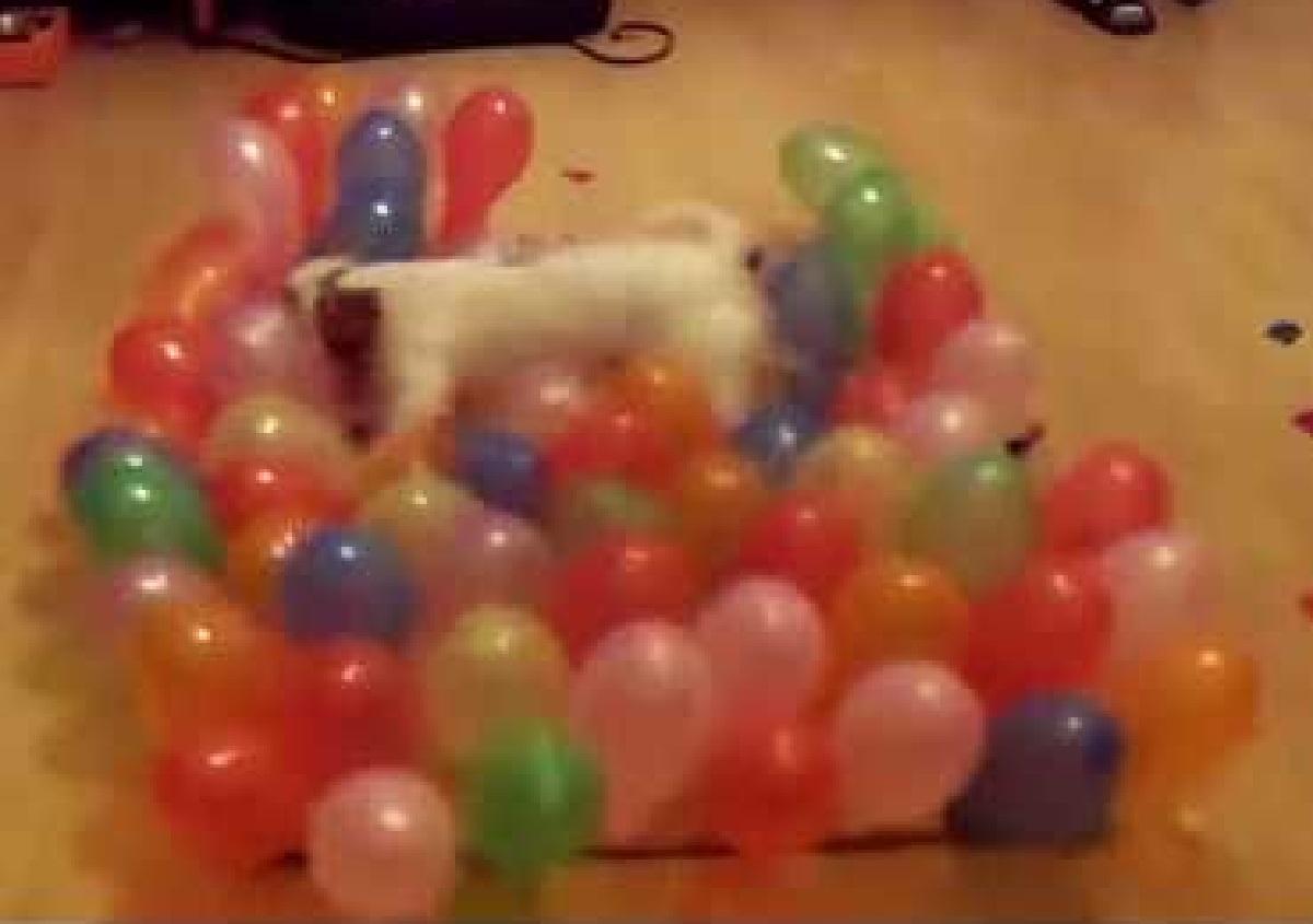 La cucciola Jack Russell scoppia 100 palloncini in pochissimo tempo, ecco il video del record