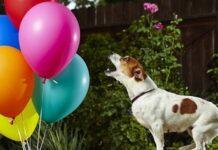 cucciola jack russell scoppia 100 palloncini tempo record