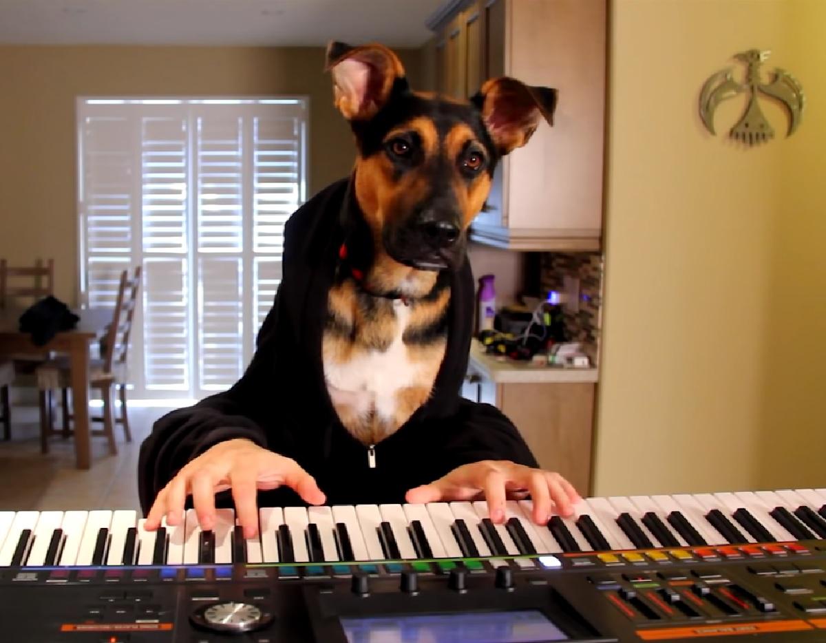 """La cucciola Pastore tedesco suona il piano con le sue """"mani"""", il video ci mostra il suo infinito talento"""