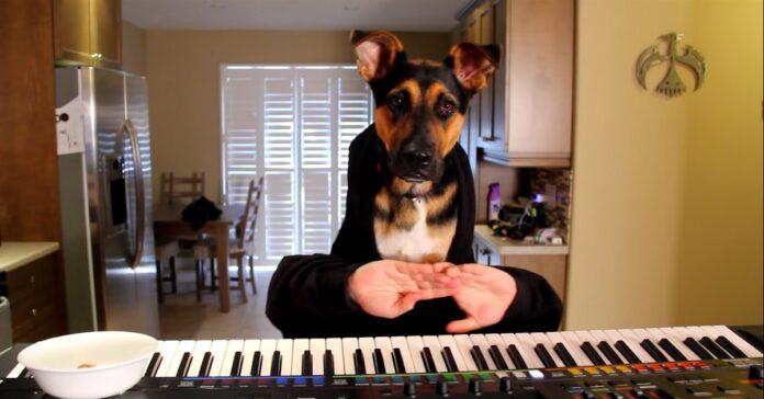 bella cucciola pastore tedesco suona il piano con le sue mani video talento