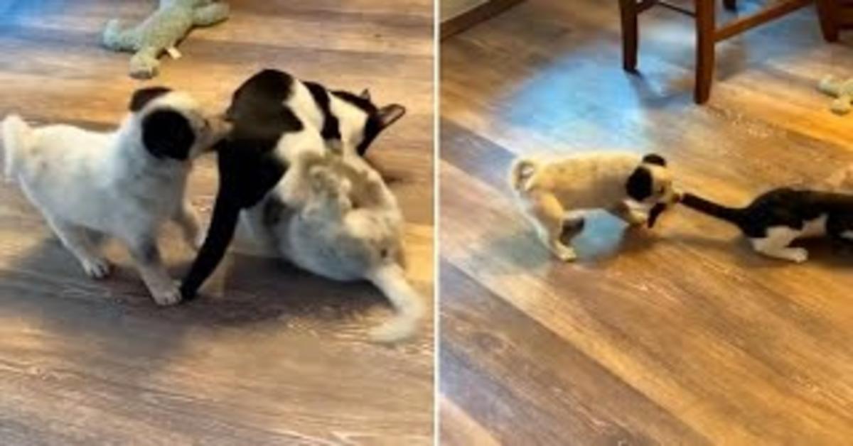Adorabile cucciola di cane difende suo fratello tirando la coda al gatto e commuove il web (VIDEO)