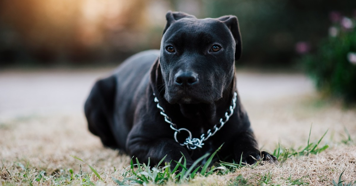 Cuccioli di Pit Bull, attenzioni speciali: dall'educazione agli accessori, cosa sapere