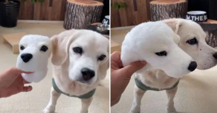 Due foto di puri con la sua replica di lana