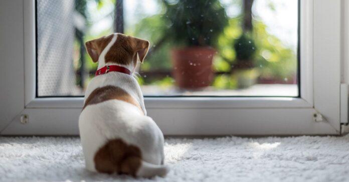 cagnolino guarda dalla finestra