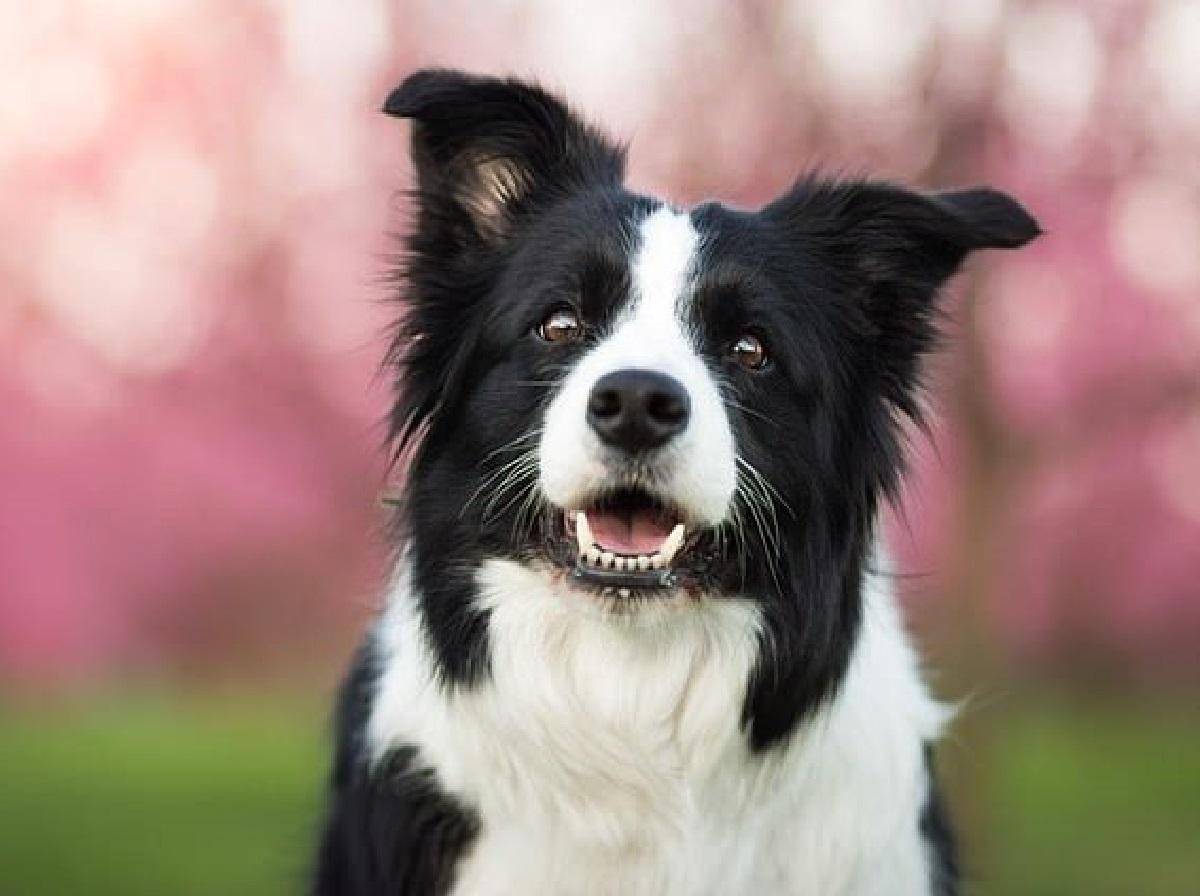 Svelato cosa ci vuole dire il cane quando fa questa specifica mossa