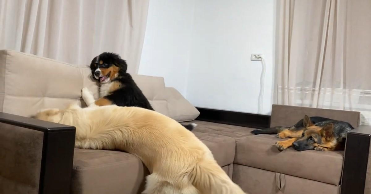 Tre cuccioli sono amici fraterni e non possono assolutamente fare a meno degli altri (VIDEO)