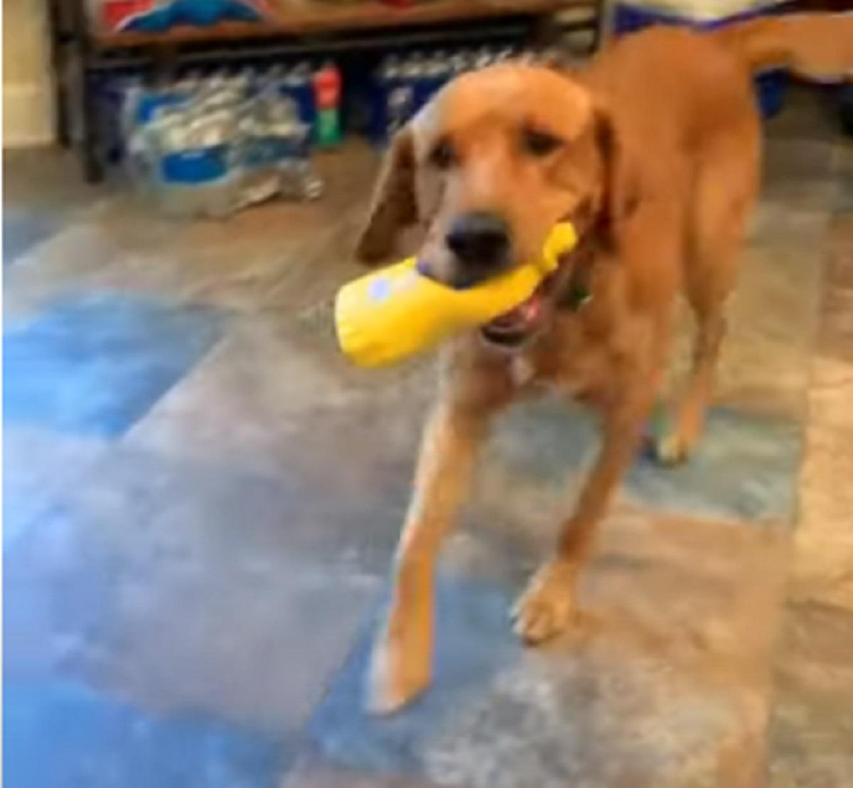 Un cucciolo di cane si improvvisa chef quando il padrone ha voglia di un panino (VIDEO)