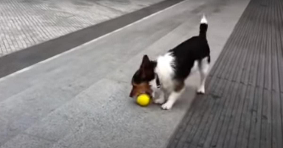 Un cucciolo di Jack Russell ha un modo di giocare davvero unico, guardate cosa fa nel video
