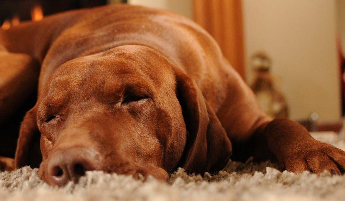 Zoletil per cani: cos'è e a cosa serve questo farmaco