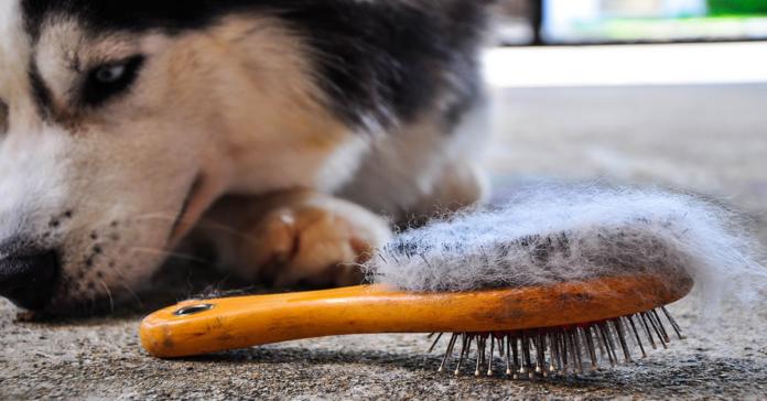 Husky perde pelo