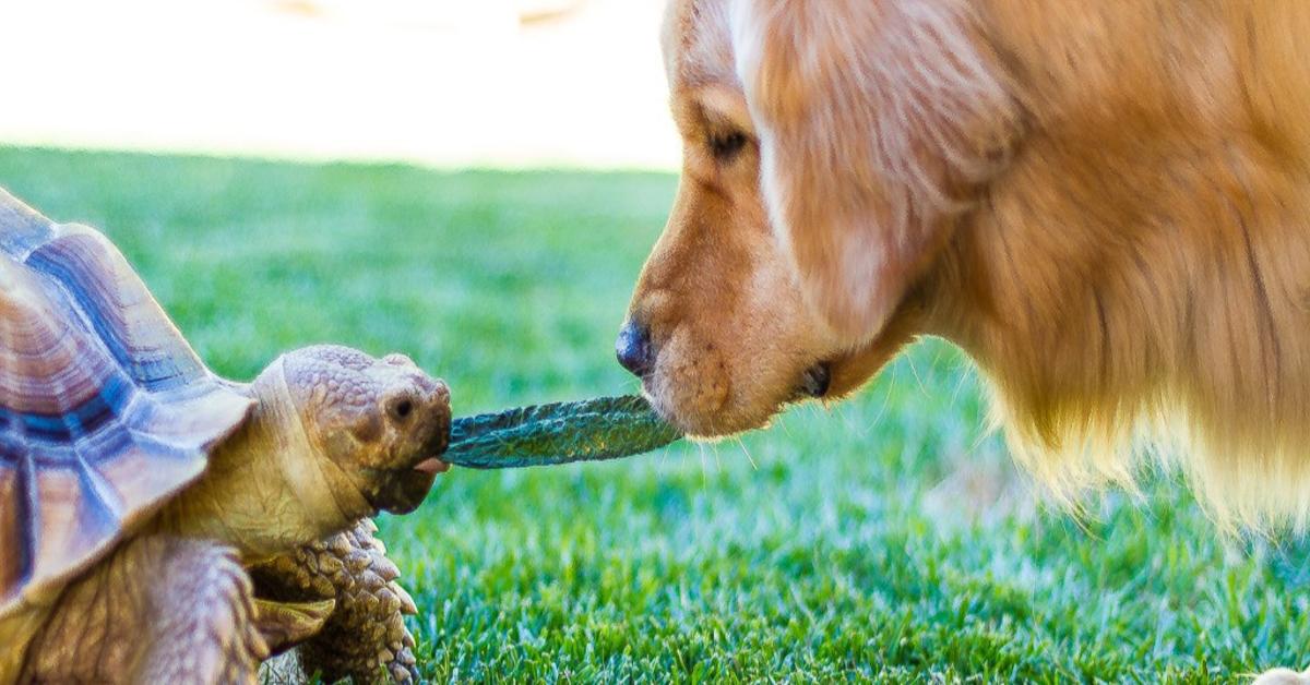 Larry e Cricket: la meravigliosa amicizia fra una tartaruga e un cucciolo di Golden Retriever (VIDEO)