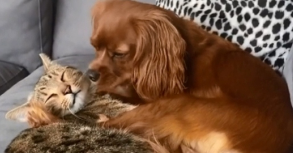 Albi il Cavalier King adottato da un gattino davvero speciale (VIDEO)