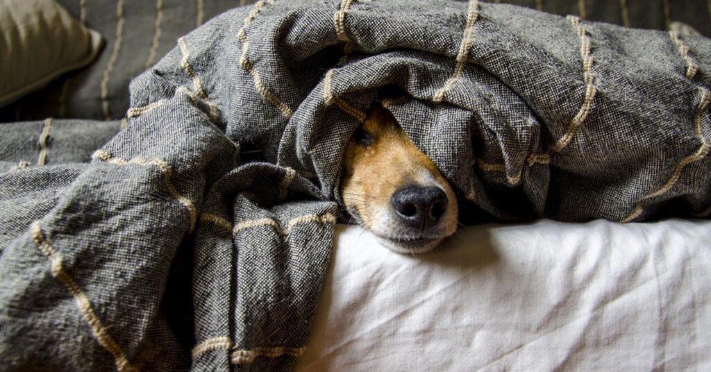 Cane sotto una coperta