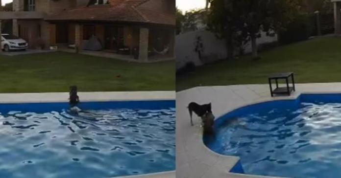 cagnolina cerca di salvare Pitbull caduta in piscina
