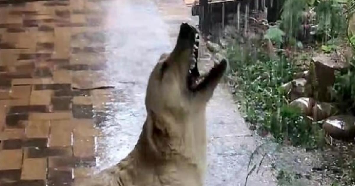 Bella, la Labrador che non aveva mai visto la pioggia (VIDEO)