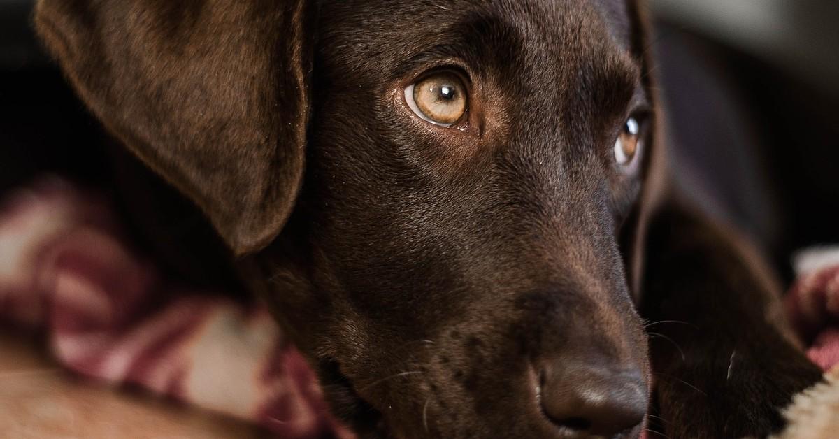 Cucciola di Labrador piange perché i suoi cagnolini non giocano con lei (VIDEO)