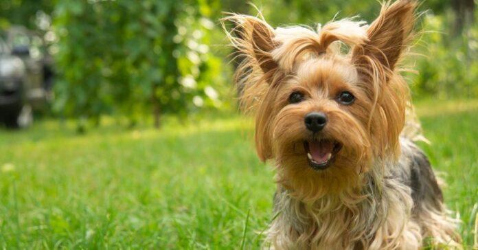 cuccioli di yorkshire terrier
