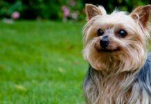 cuccioli di yorkshire terrier come sceglierli