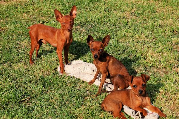 cuccioli di Zwergpinsher come addestrarli