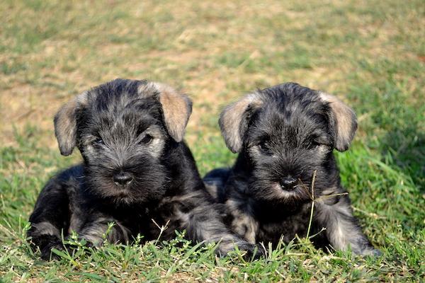 Cuccioli di Zwergschnauzer sono fragili