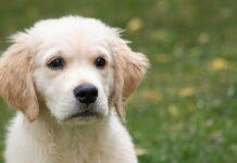 Cucciolo di Golden Retriever gioca con la pallina