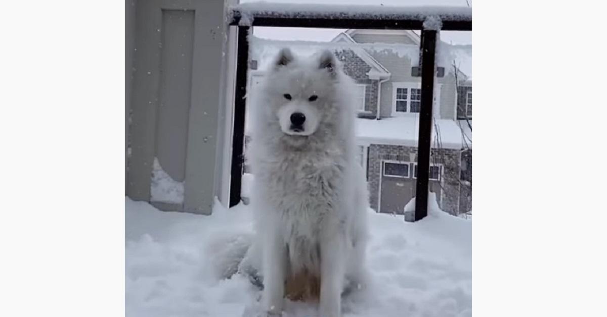Cucciolo di Samoiedo adora stare sotto la neve