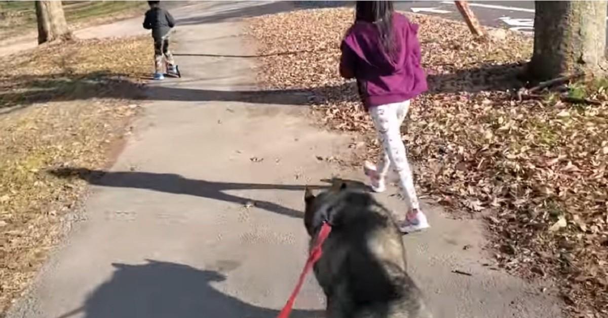 Cucciolo di Siberian Husky protesta perché vuole andare a fare una passeggiata