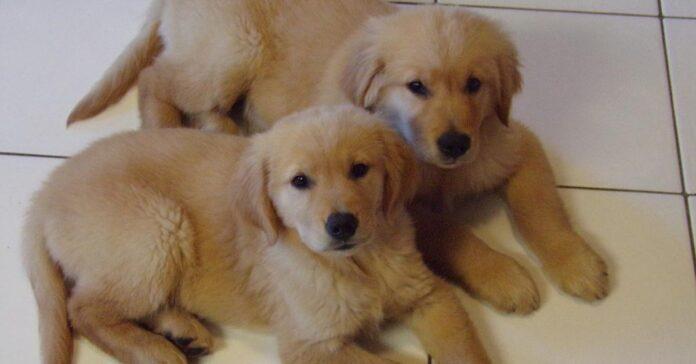 Cuccioli di Golden Retriever che osservano