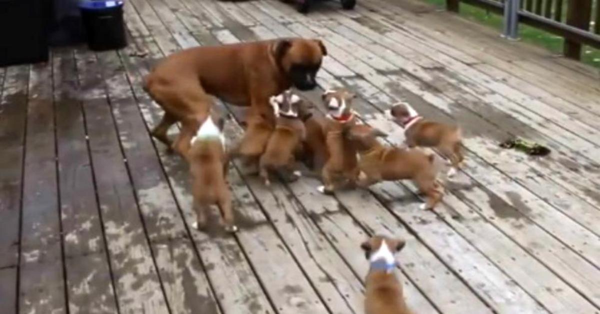 Boxer maschio scambiato per la mamma dai cuccioli
