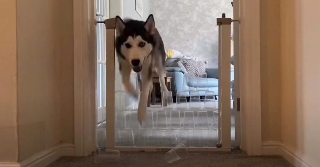 Husky contro un muro di bicchieri