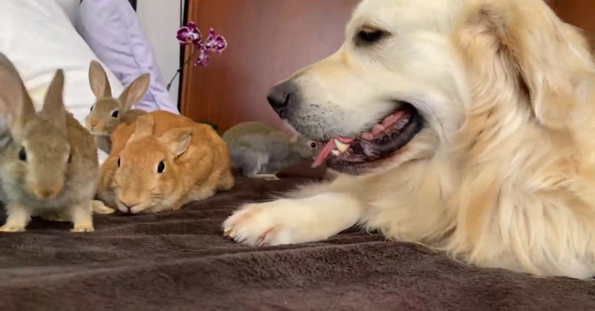 Un Golden Retriever è un grande amico di animali davvero piccolini (VIDEO)