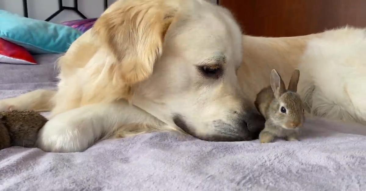 Un cucciolo di Golden Retriever gioca con dei coniglietti e si rilassano (VIDEO)