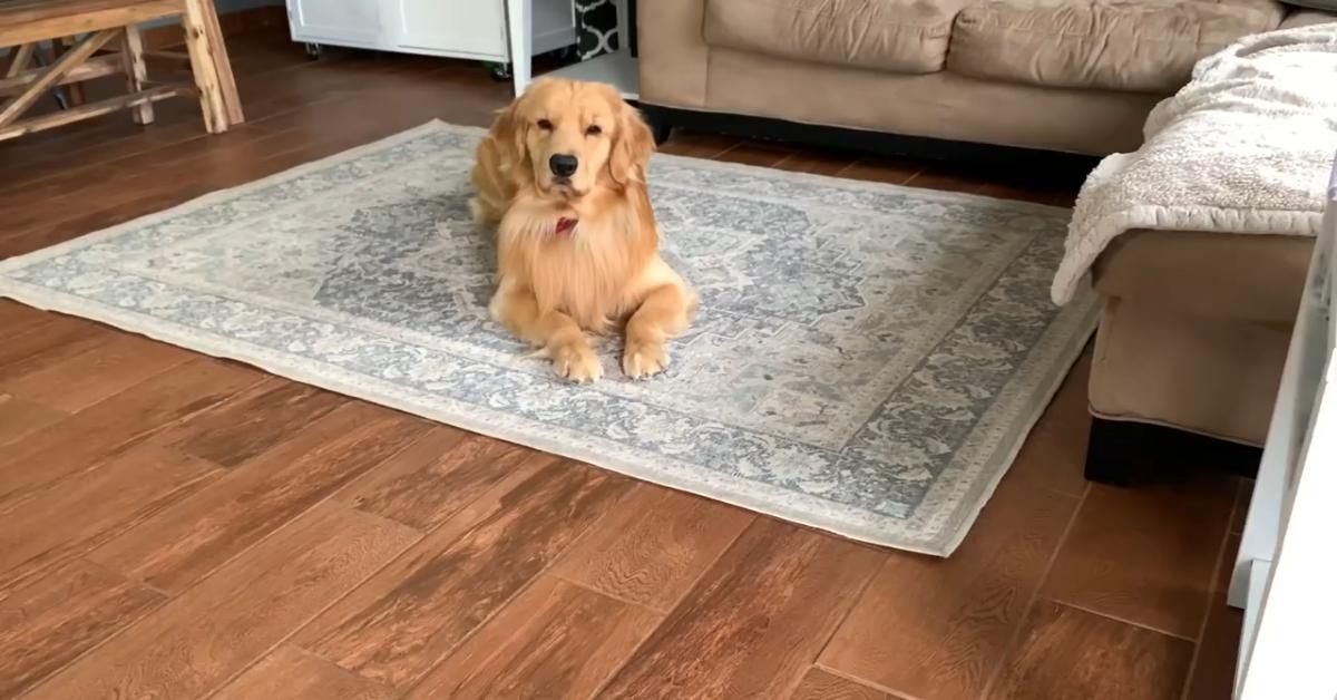 Un Golden Retriever gioca con due giocattoli particolari e carini (VIDEO)