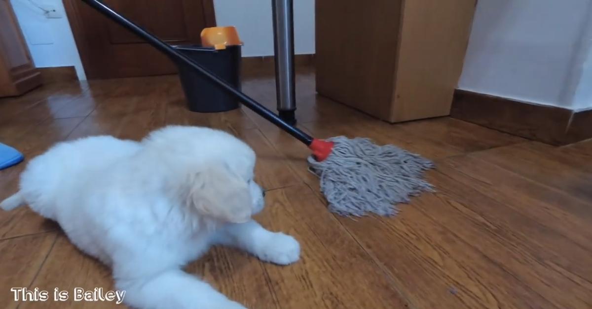 Un cucciolo di Golden Retriever gioca con lo straccio mentre la padrona pulisce (VIDEO)
