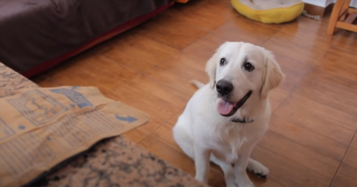 Un Golden Retriever prepara e mangia dei pop corn con i padroni (VIDEO)