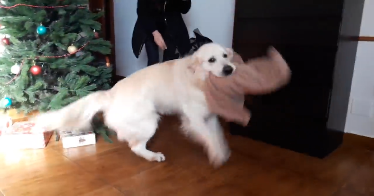 Un Golden Retriever rivede il padrone dopo diverso tempo (VIDEO)